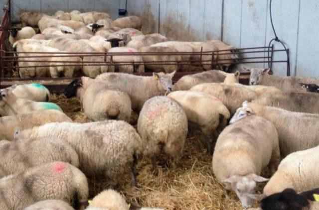 Фермеры Дагестана охотно берутся за откорм овец на стойловом содержании